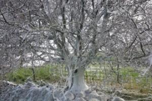 Árvore coberta por teias de lagartas surpreende na Inglaterra (Foto: Rich Sutcliffe)