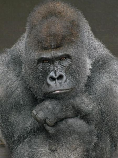 Gorilas do San Diego Zoo Safari testaram positivo para Covid-19 - Divulgação/San Diego Zoo Safari