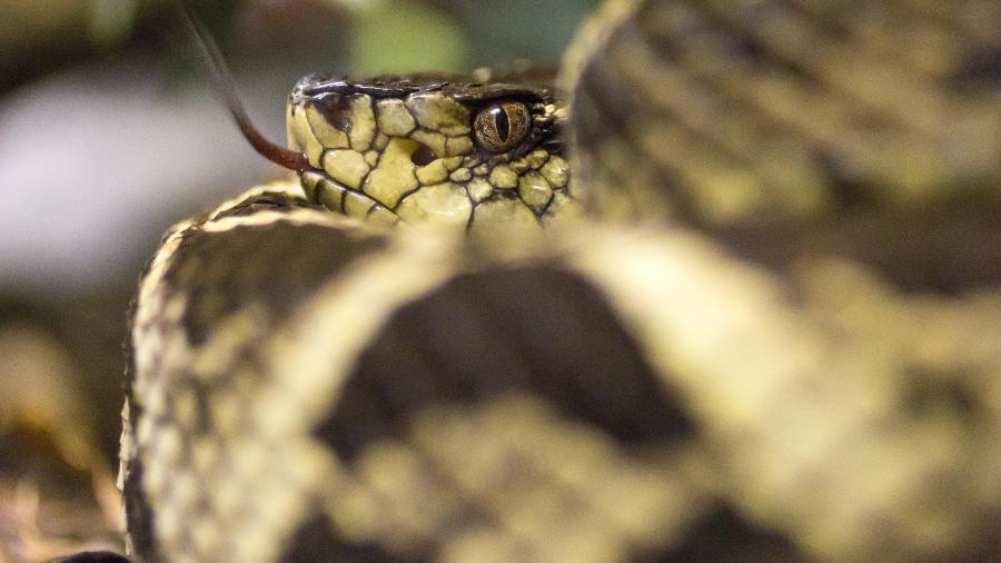 Com veneno perigoso, cobra também pode ser encontrada em outros países da América do Sul - Getty Images/iStockphoto