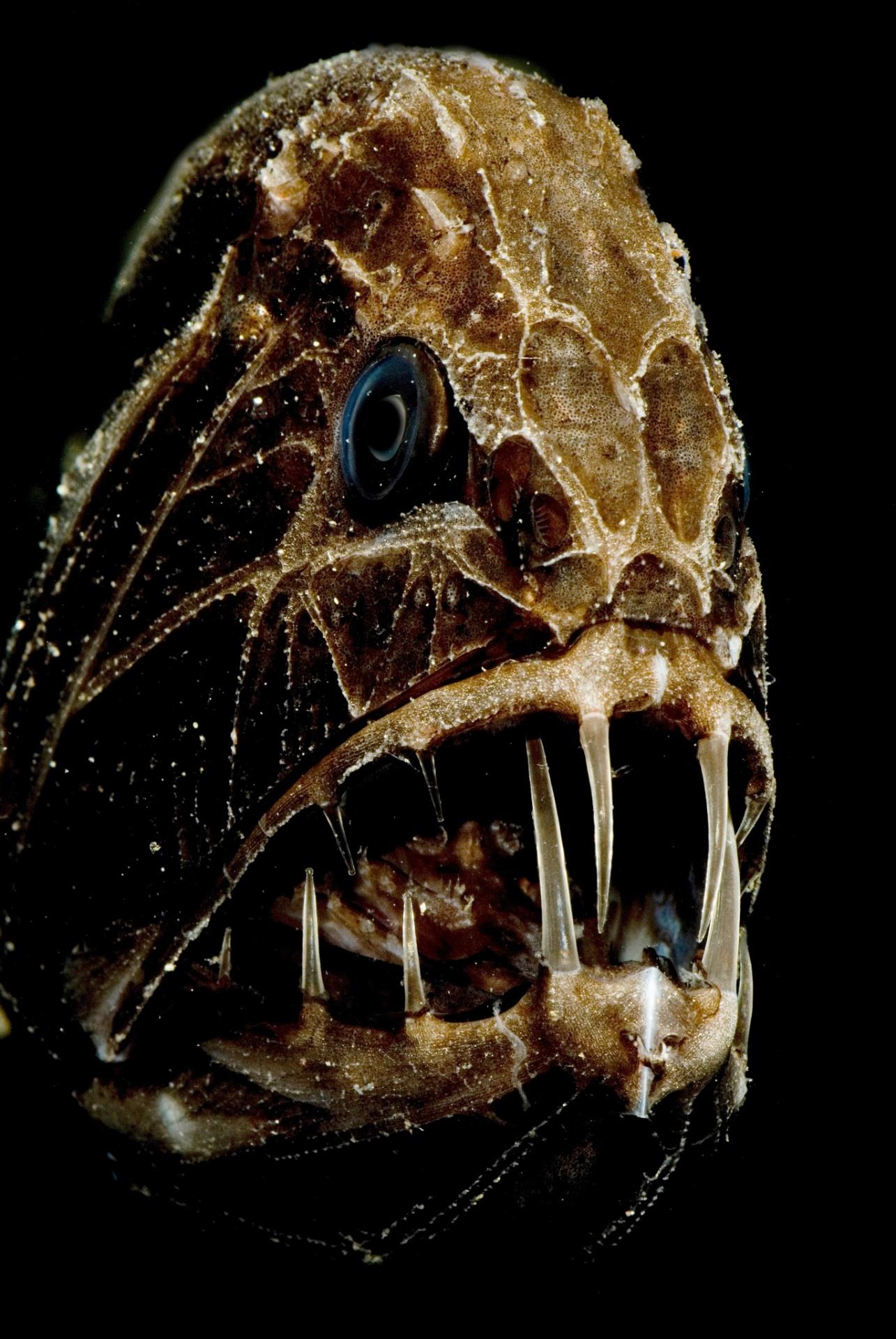 5.jul.2016 ? O peixe Common fangtooth, da família Anoplogastridae, vive nas profundezas do oceano e tem, proporcionalmente, os maiores dentes entre os peixes. As presas são tão grandes que para fechar a mandíbula o animal tem compartimentos internos no céu da boca para encaixar os dentes