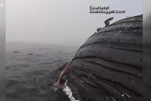 Câmera flagra tubarão comendo carcaça de baleia-jubarte na Califórnia (Foto: BBC/Reprodução)