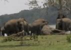 O tocante momento em que elefantes lamentam morte de líder da manada - Reprodução/BBC