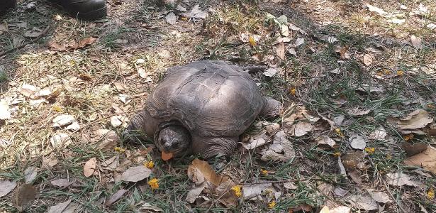 Tartaruga com mordida mais forte que leão é encontrada pela 2ª vez em SP