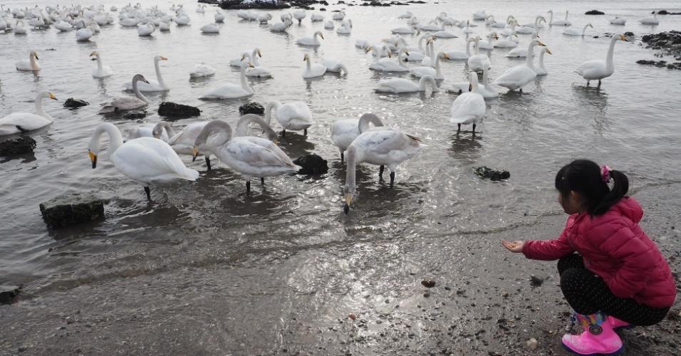 20.jan.2016 - Criança se aproxima para alimentar cisnes em Rongcheng, localizada na costa leste da China. Mais de 10 mil cisnes migram da Sibéria, na Rússia, para a cidade entre os meses de novembro e março