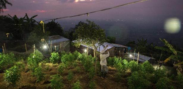 Agricultor troca lâmpada em área de cultivo de maconha, em Corinto, Colômbia