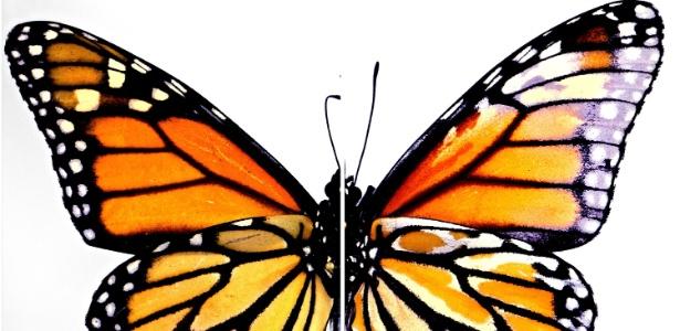 As cores naturais da asa de uma borboleta monarca, à esquerda, comparada a uma outra que foi submetida a técnica de edição de genes