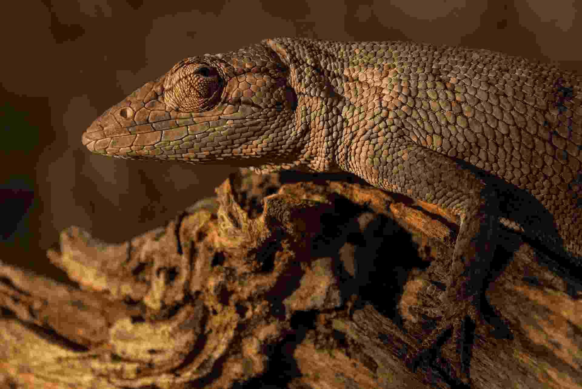 19.abr.2017 - Registro de um calango no Parque Nacional da Serra das Confusões, animal típico da Caatinga - Bruno Souza (WikiParques)