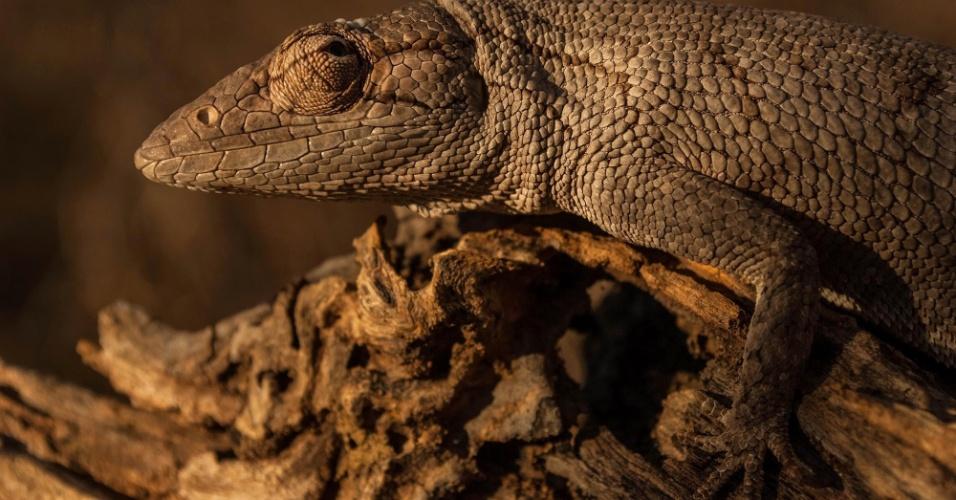19.abr.2017 - Registro de um calango no Parque Nacional da Serra das Confusões, animal típico da Caatinga
