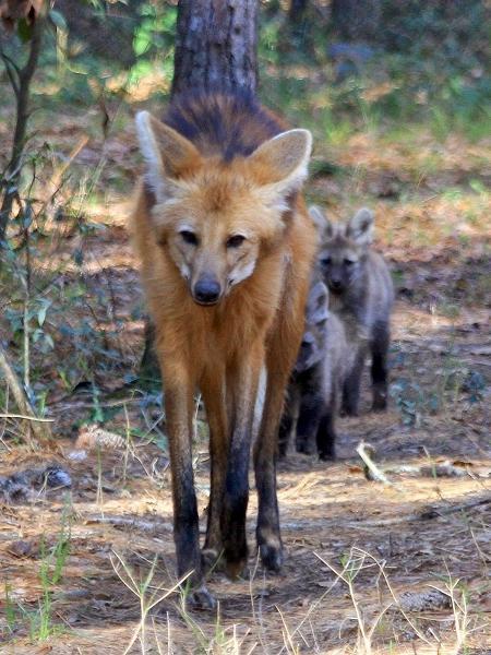 O lobo-guará foi o animal escolhido para estampar a nova cédula - Divulgação/White Oak
