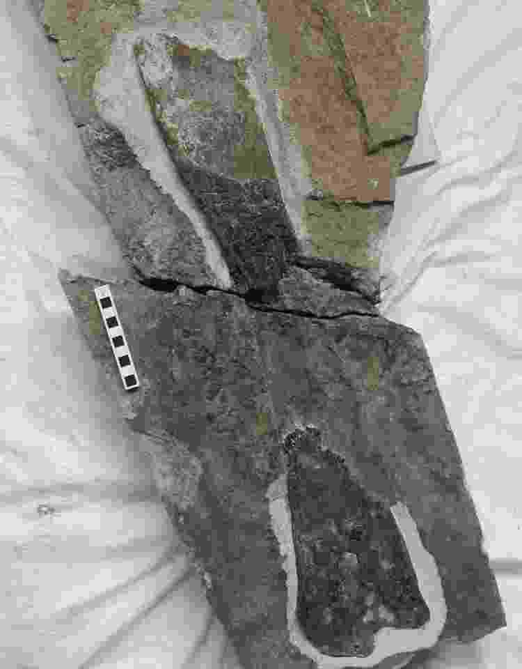 O fóssil está agora nas coleções dos Museus Nacionais da Escócia, em Edimburgo - N Larkin - N Larkin