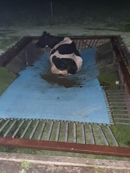 Vaca fugiu de propriedade rural na Austrália e acabou em cima de uma cama elástica - 3AW 693 AM/Reprodução