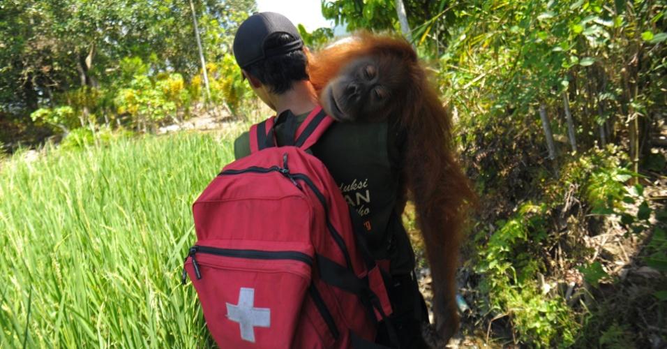 24.mar.2016 - Orangotango selvagem é resgatado de uma plantação em Kuala Batee, na Indonésia, pelo Programa de Conservação do Orangotango de Sumatra. A espécie está ameaçada de extinção, de acordo com a IUCN (União Internacional para a Conservação da Natureza e dos Recursos Naturais). Atualmente, exitem cerca de 6 mil orangotangos de Sumatra