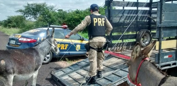 Jumentos apreendidos pela PRF (Polícia Rodoviária Federal) em estradas da Bahia são colocados em veículo para serem transportados e posteriormente abatidos