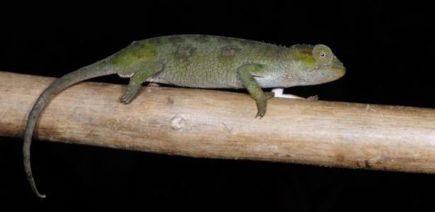O camaleão da floresta de Itombwe (Kinyongia itombwensis) é uma das novas espécies descobertas pelos pesquisadores norte-americanos