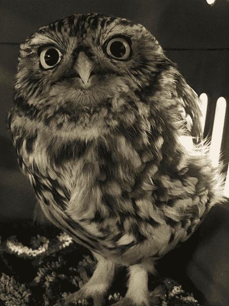 A coruja resgatada por estar gorda demais no Reino Unido - Reprodução/Suffolk Owl