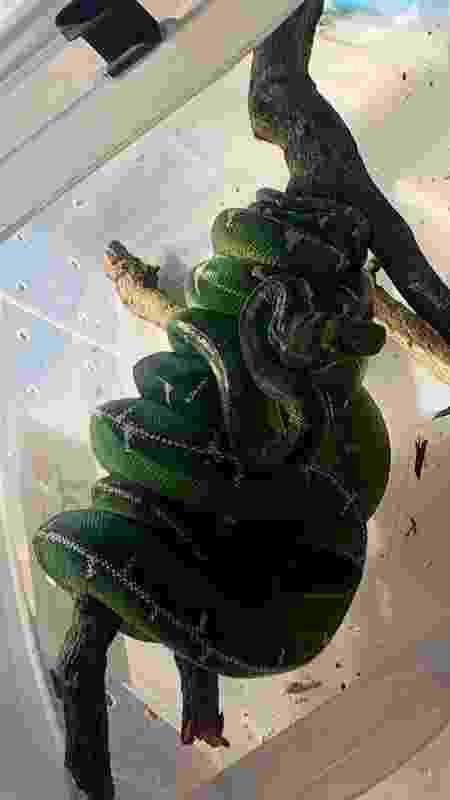 Serpente foi encontrada escondida em caixa  - Divulgação/Polícia Militar Ambiental do DF - Divulgação/Polícia Militar Ambiental do DF