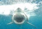 Reprodução/Twitter/Sharkcagediving