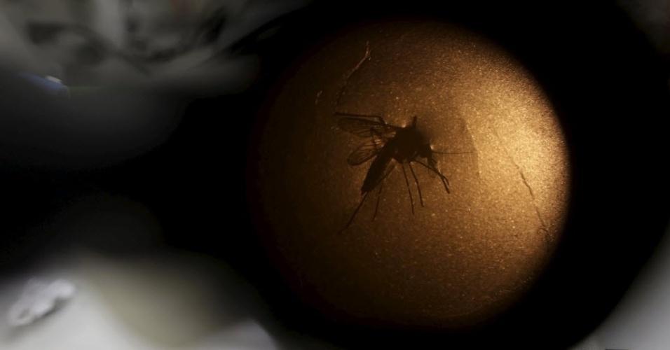 28.jan.2016 - Técnico da Fiocruz (Fundação Oswaldo Cruz) analisa um mosquito Aedes aegypti através de um microscópio em laboratório do Recife (PE). O Estado sofre com epidemia de zika, vírus transmitido pelo Aedes aegypti, cuja relação com os casos de microcefalia vem sendo investigada por cientistas