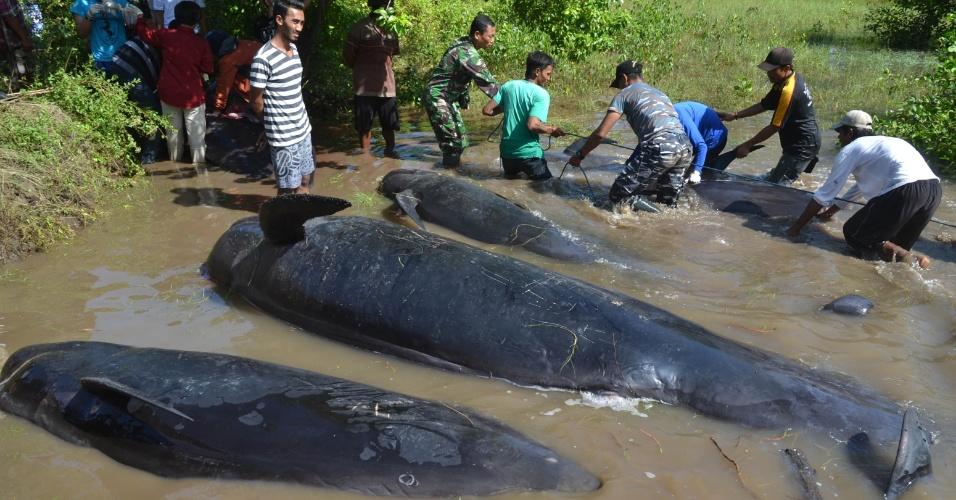 16.jun.2016 - Locais tentam auxiliar baleias que ficaram encalhadas em praia da Indonésia. Os animais foram encontrados na praia de Probolinggo, ao leste da província de Java. As 32 baleias foram surpreendidas pela maré baixa. Ao menos oito já morreram. Pescadores e funcionários da província tentaram levar os animais ainda vivos de volta ao mar