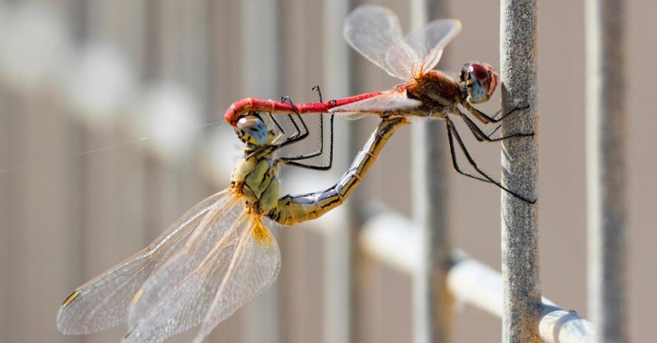 13.out.2016 - Par de libélulas são vistas agarradas uma a outra em reservatório de água em Mishmar HaSharon, em Tel Aviv (Israel)
