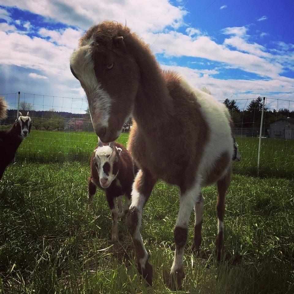 Rent-a-Ruminant aluga bodes e cabras para capinar terrenos
