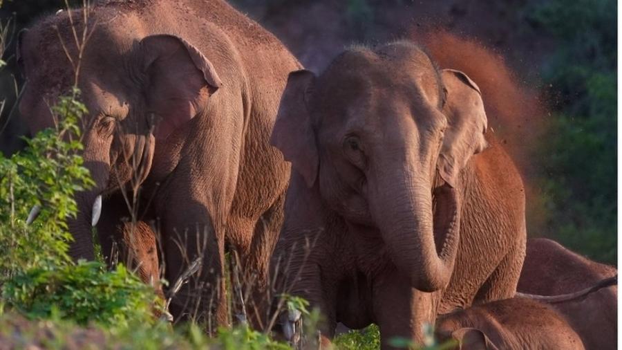Uma manada de elefantes ameaçados de extinção na China que já percorreu 500 km deixou cientistas completamente pasmos - Reuters