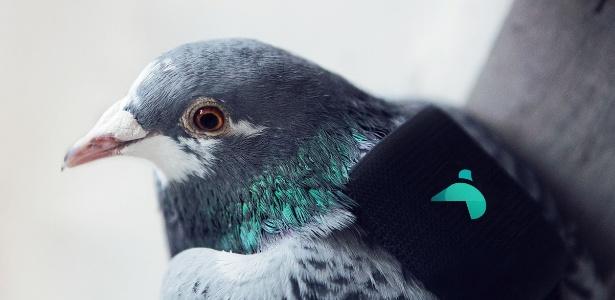 Pombo de Londres carrega um sensor de poluição e aparelho de GPS