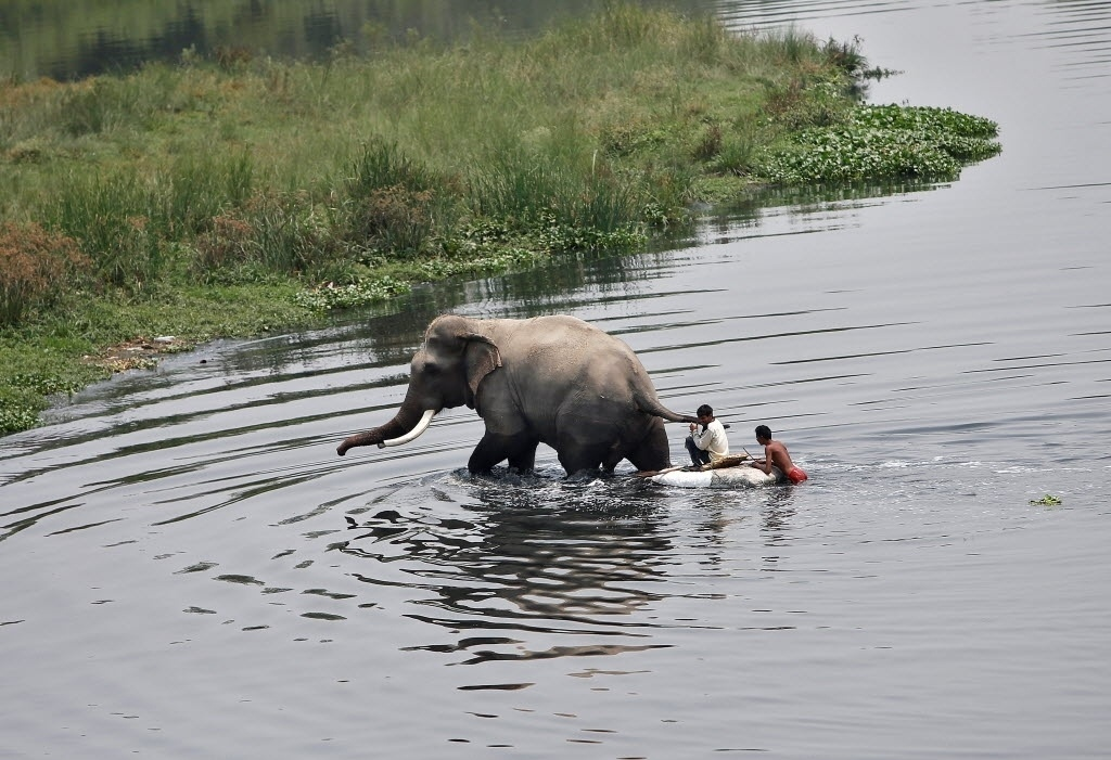 9.mai.2016 ? Meninos pegam uma carona em um elefante para atravessar o rio Yamuna, em Nova Deli, Índia
