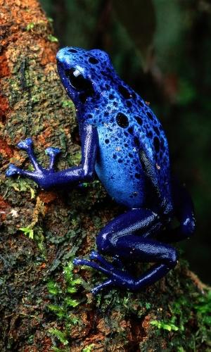 Um sapo Dendrobatidae azul escala uma planta no Suriname. Esses são os animais mais tóxicos do mundo, mas a primeira defesa deles é a cor extravagante, que ajuda a manter predadores afastados