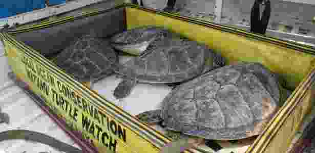 Tartarugas recebidas pelo Local Ocean Conservation, no Quênia - Amy Yee/NYT