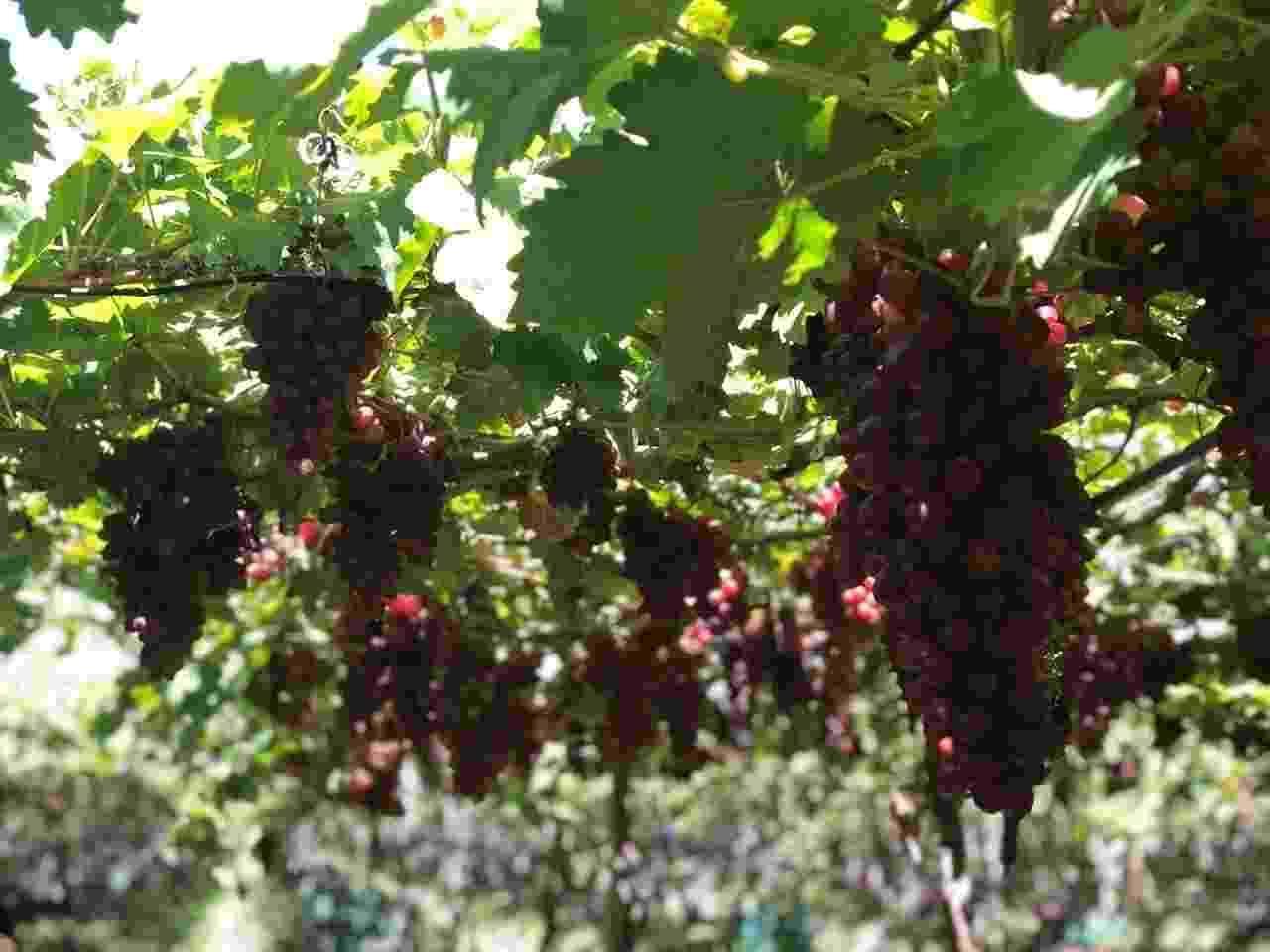 cacho de uvas - Luciana Amaral/UOL