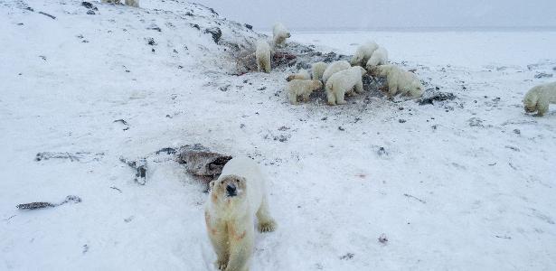 Aquecimento global é culpado | Mais de 50 ursos polares são vistos em vilarejo no extremo norte da Rússia