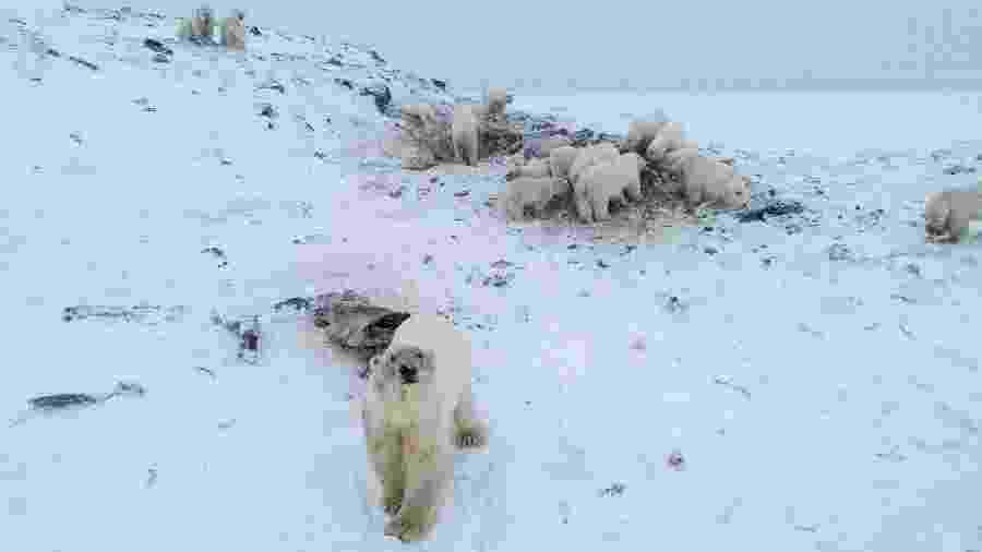 Casos de canibalismo entre ursos polares aumentaram pelo derretimento de gelo no Ártico  - AFP PHOTO / World Wildlife Fund Russia / Maksim DYOMINOV