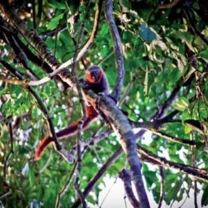 O macaco zogue-zogue-rabo-de-fogo é um dos destaques do relatório de novas espécies  - Julio Dalponte/Instituto Mamirauá