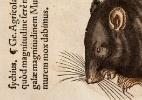 Os ratos são inocentes: pesquisa aponta que humanos espalharam a peste negra, epidemia mais mortal da história - Science Photo Library