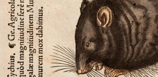 Uma ilustração de 1551 mostra um rato preto; a autoria é de Conrad Gesner, naturalista que morreu pela peste bubônica em 1565