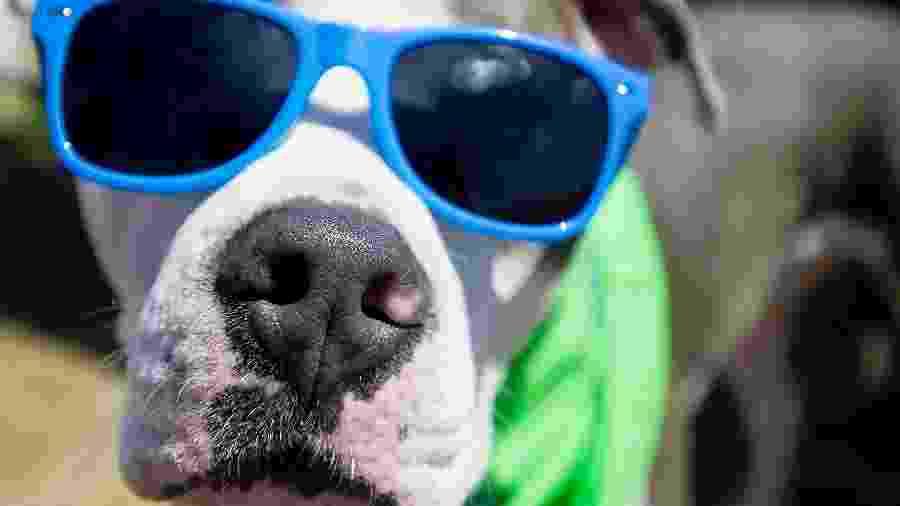Cachorro pit bull com óculos escuros - Mindy Schauer/Digital First Media/Orange County Register via Getty Images