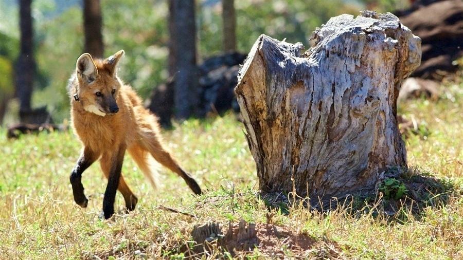 Lobos-guarás ganharam destaque nesta semana após a divulgação de que a espécie estará estampada na nota de R$ 200 - RICARDO BOULHOSA