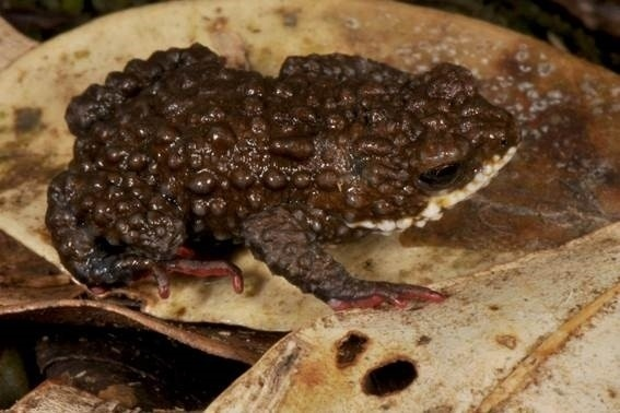"""2.dez.2015 - Cientistas brasileiros descobriram três novas espécies de sapos pequenos e venenosos em regiões montanhosas da selva tropical atlântica do sul do país, considerada uma verdadeira incubadora biológica. Os sapos, que medem de 1 a 2,5cm, foram localizados no estado de Santa Catarina, entre as cidades de Garuva e Blumenau, em uma área situada por morros e vales úmidos, atualmente foco de uma intensa atividade de pesquisa científica. Esse da foto é o """"Melanophryniscus xanthostomus"""""""