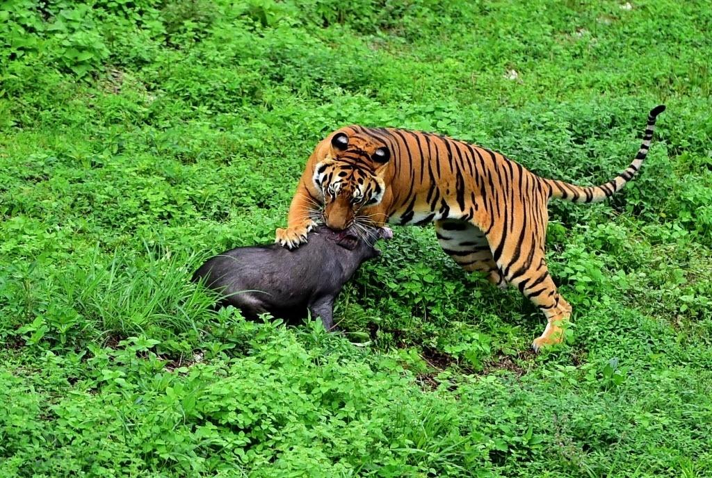 21.ago.2016 - Tigre caça javali em centro de reprodução da reserva natural de Meihua Mountains, na cidade de Longyan, na China