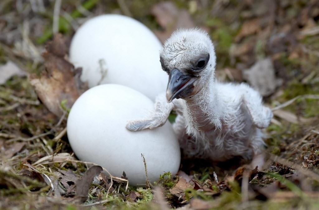 2.mai.2016 - Um filhote cegonha senta-se ao lado dos ovos para esperar o nascimento dos seus irmãos no parque de vida selvagem Eekholt, no norte da Alemanha