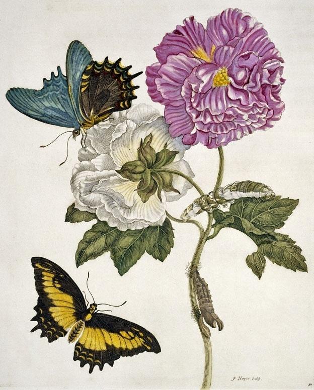 Merian desenvolveu um interesse peculiar que ia além da simples pintura de plantas e insetos