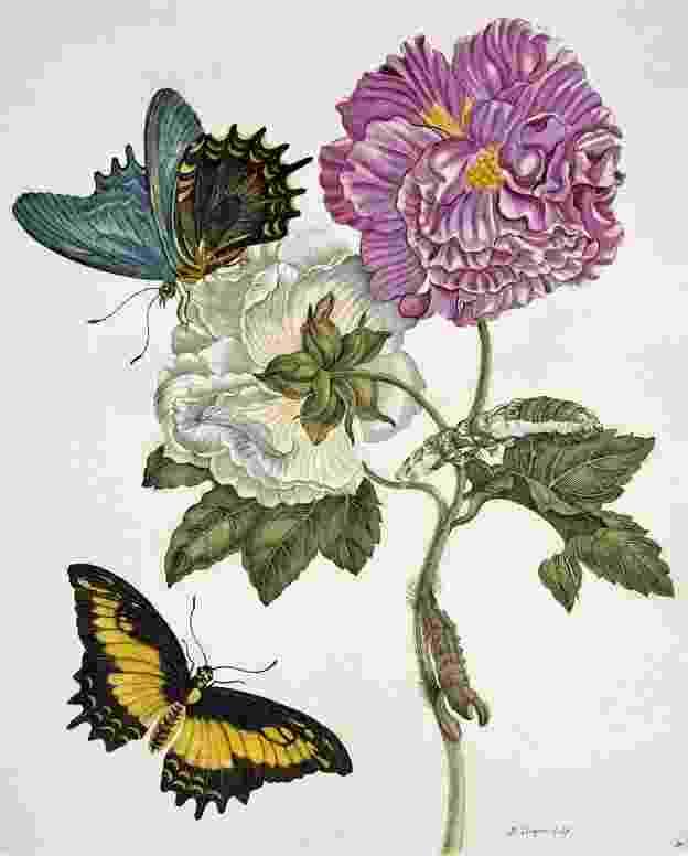 Merian desenvolveu um interesse peculiar que ia além da simples pintura de plantas e insetos - Science Photo Library/BBC