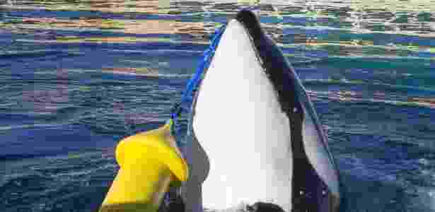 Wikie, uma fêmea orca de 16 anos, foi ensinada a imitar palavras em inglês e contar até 3 | Foto: Marineland - Marineland