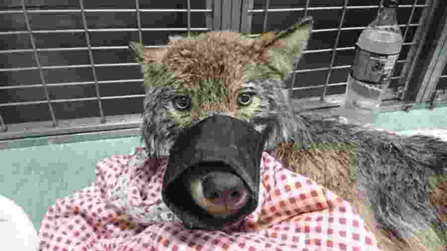 """O """"cachorro"""" foi tratado por veterinários em uma clínica - Eupa/BBC"""