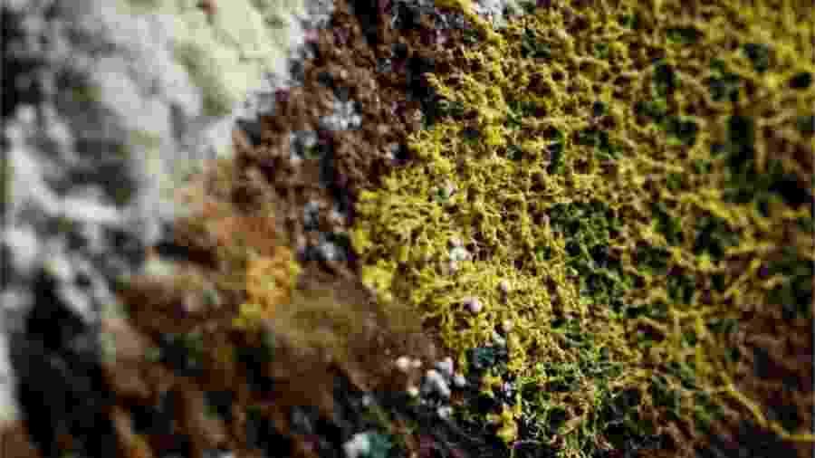 O Physarum polycephalum é considerado um dos maiores mistérios da natureza - Reuters