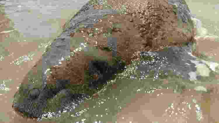 Ambientalistas estão monitorando o peixe-boi para evitar que suas vias respiratórias e boca sejam obstruídas pelo petróleo derramado na costa nordestina - ACERVO FMA