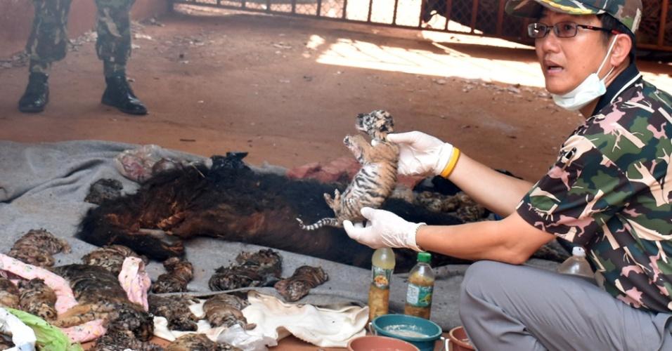 1º jun.2016 - Oficial tailandesa exibe pequeno filhote de tigre morto encontrado após operação em templo na província de Kanchanaburi, a oeste de Bancoc. Autoridades encontraram 40 carcaças de filhotes no controverso Templo do Tigre, uma atração turística bastante popular no país e que tem sido alvo de muitas críticas nos últimos anos por conta de maus-tratos