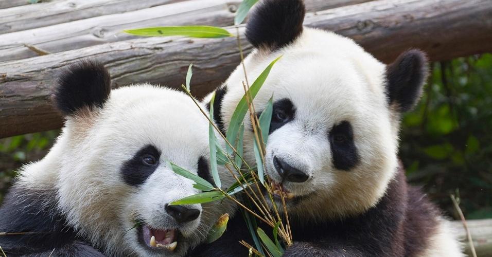 15.set.2016 - Pandas gigantes brincam em Chengdu, na China. Graças aos esforços de conservação da vida selvagem, os pandas saíram da lista de espécies em risco de extinção da União Internacional para a Conservação da Natureza