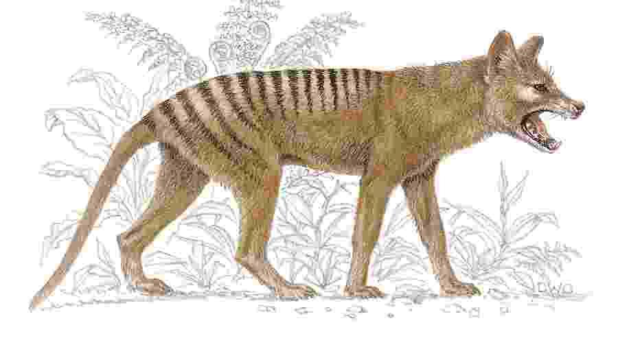 Tigre-da-tasmânia teria sido visto pelo menos oito vezes em três anos, segundo autoridades - Brown Bear/Windmill Books/Universal Images Group via Getty Images